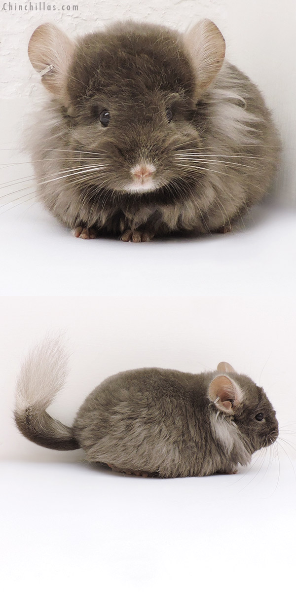 17185 Exceptional Tan G2 CCCU Royal Imperial Angora Female Chinchilla