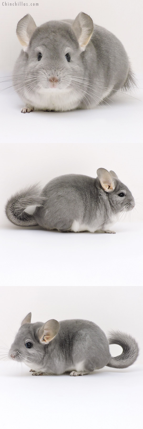 17194 Premium Production Quality Blue Diamond Female Chinchilla