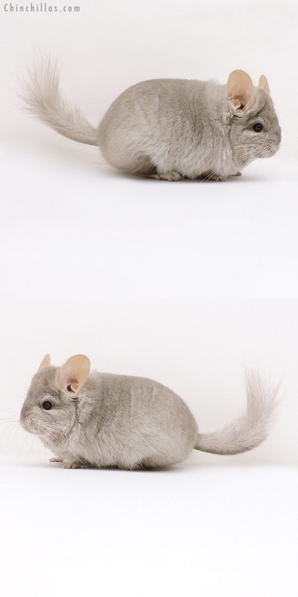 17178 Beige ( Ebony Carrier ) CCCU Royal Persian Angora Female Chinchilla