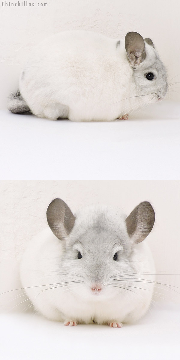 17191 Extra Large Blocky Premium Production Quality White Mosaic Female Chinchilla