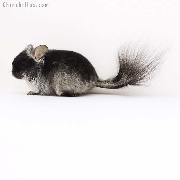 17204 Black Velvet ( Violet Carrier ) CCCU Royal Persian Angora Male Chinchilla