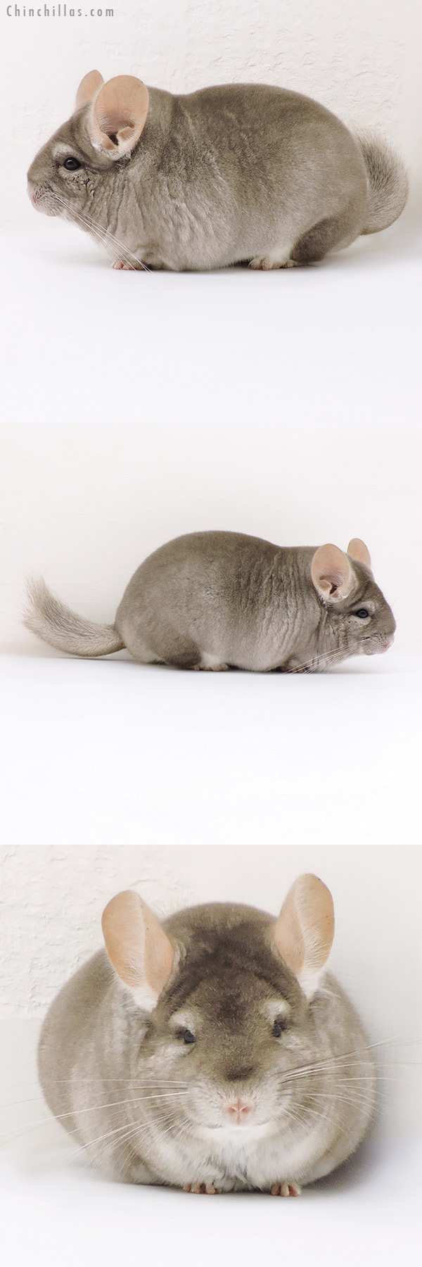 17193 Large Blocky Premium Production Quality Beige Female Chinchilla