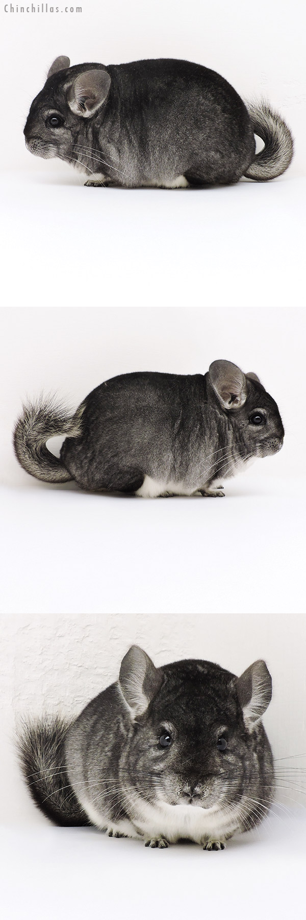 17197 Large Blocky Premium Production Quality Standard Female Chinchilla