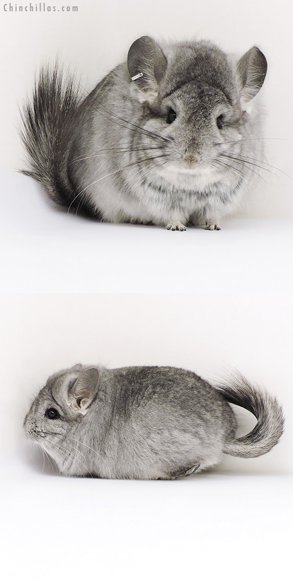 17203 Exceptional Standard CCCU Royal Persian Angora Male Chinchilla