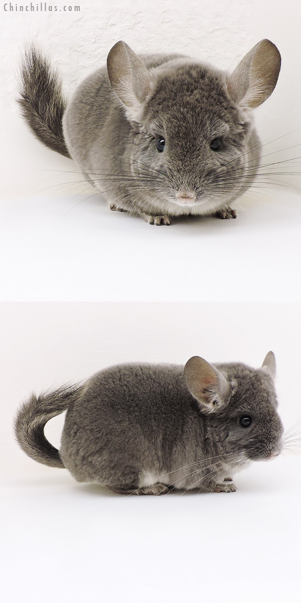 17171 Show Quality TOV Violet Male Chinchilla