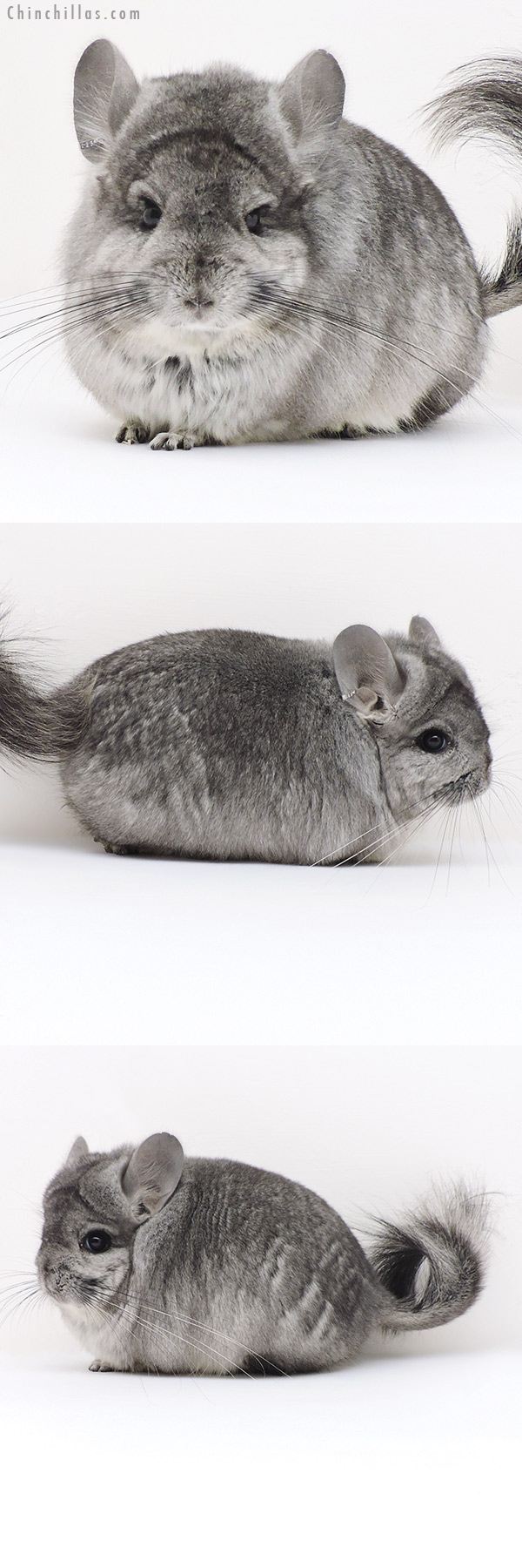 17212 Standard ( Ebony & Locken Carrier ) CCCU Royal Persian Angora Male Chinchilla