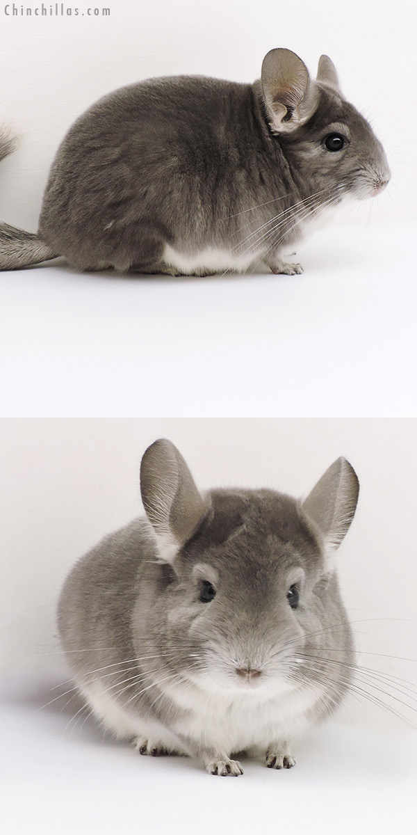 17214 Premium Production Quality Violet Female Chinchilla