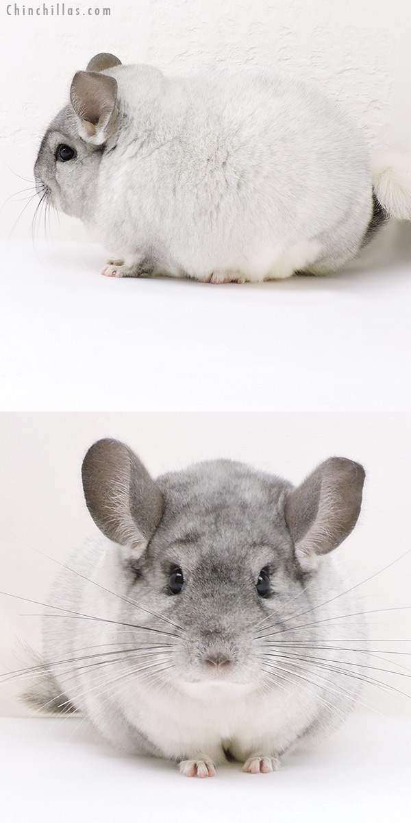 17218 Large Blocky Show Quality White Mosaic Female Chinchilla