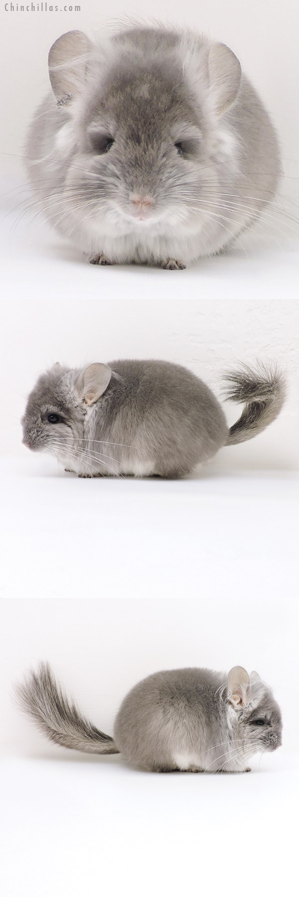 17210 Violet CCCU Royal Persian Angora Male with Ear Tufts Chinchilla