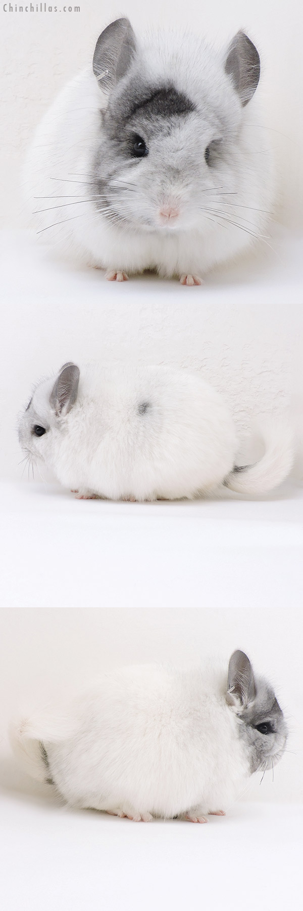 17181 Unique White Mosaic CCCU Royal Persian Angora Female Chinchilla