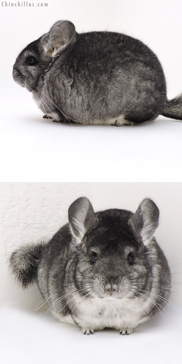 17219 Large Blocky Show Quality Standard Female Chinchilla