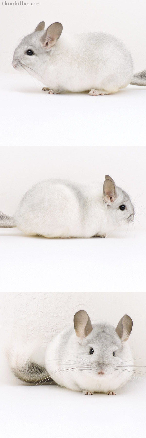 17199 Show Quality White Mosaic Male Chinchilla