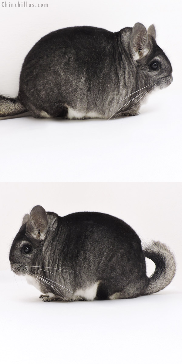 17221 Large Blocky Premium Production Quality Standard Female Chinchilla
