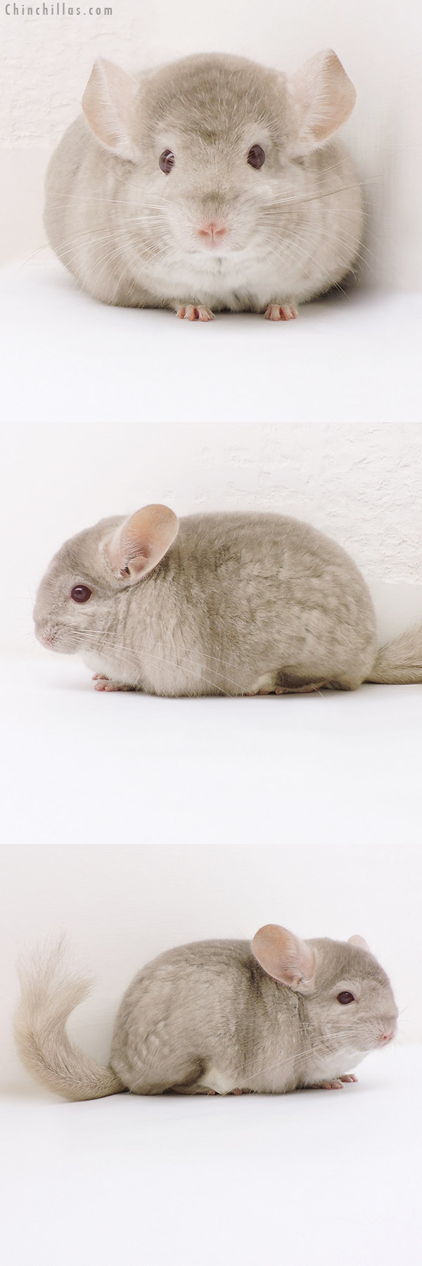 17158 Show Quality Homo Beige Female Chinchilla