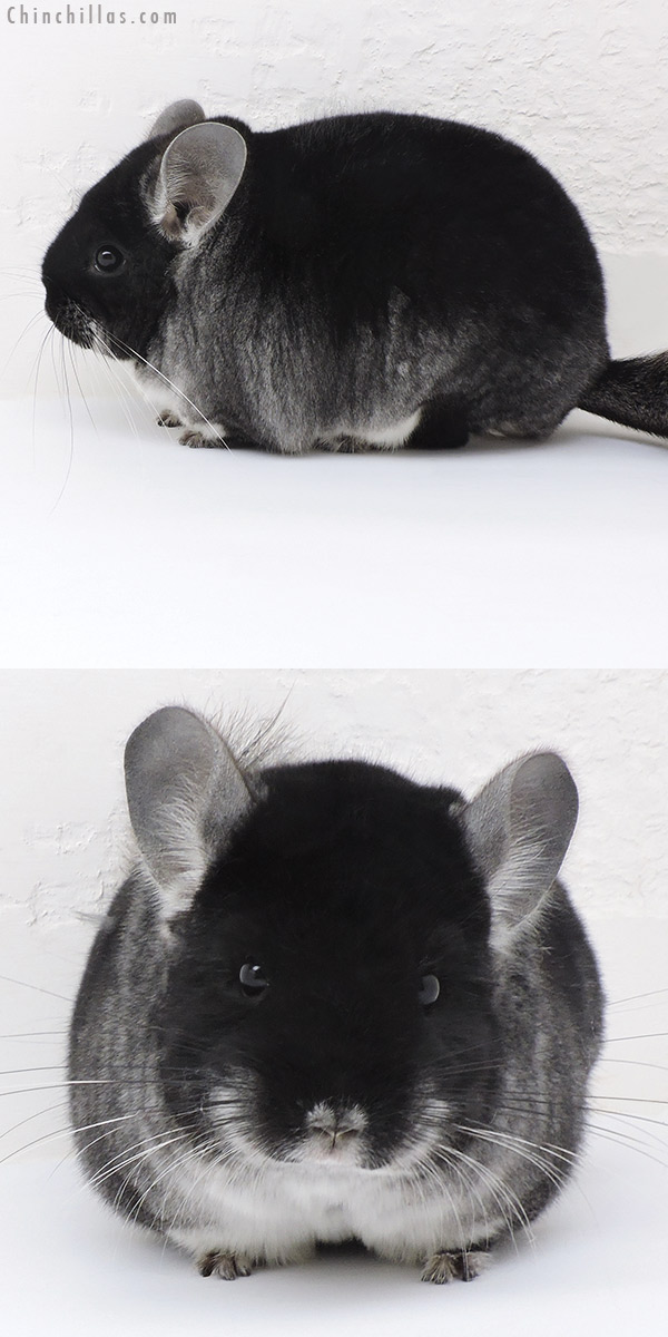 17223 Blocky Show Quality Black Velvet Female Chinchilla