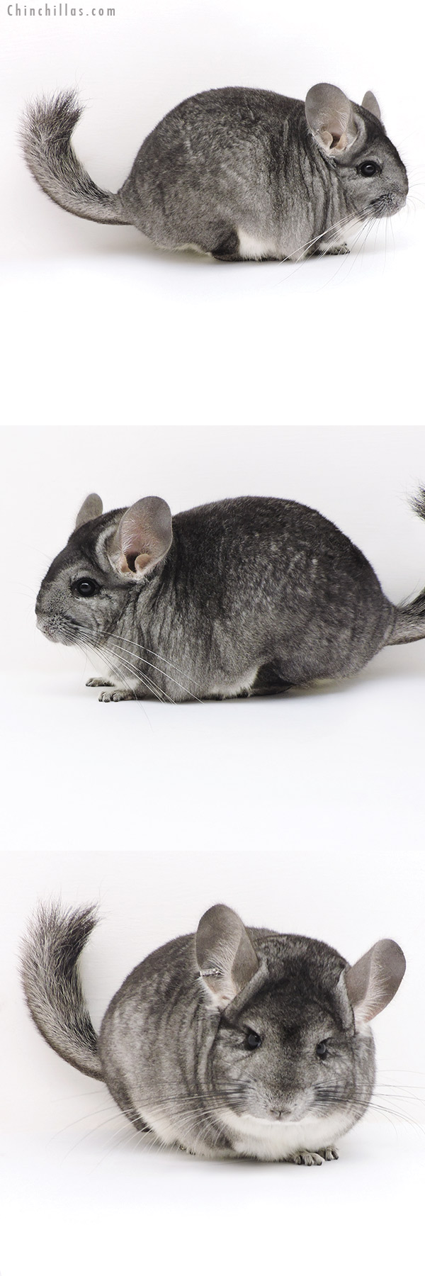 17228 Standard ( Sapphire & CCCU Royal Persian Angora Carrier ) Female Chinchilla