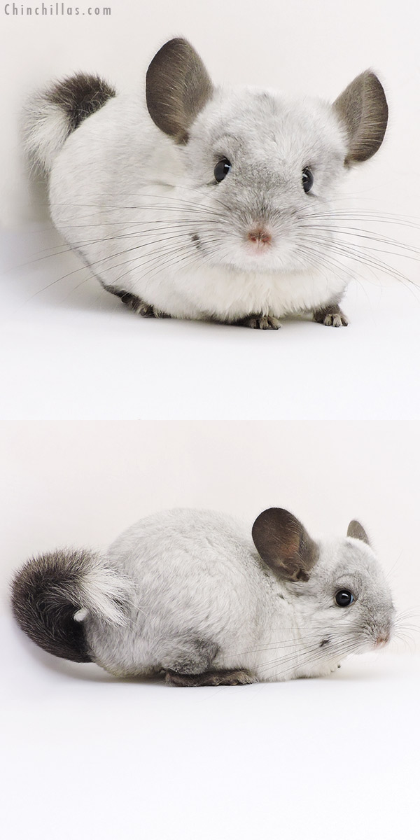 17182 Ebony & White Mosaic ( Locken Carrier ) Female Chinchilla