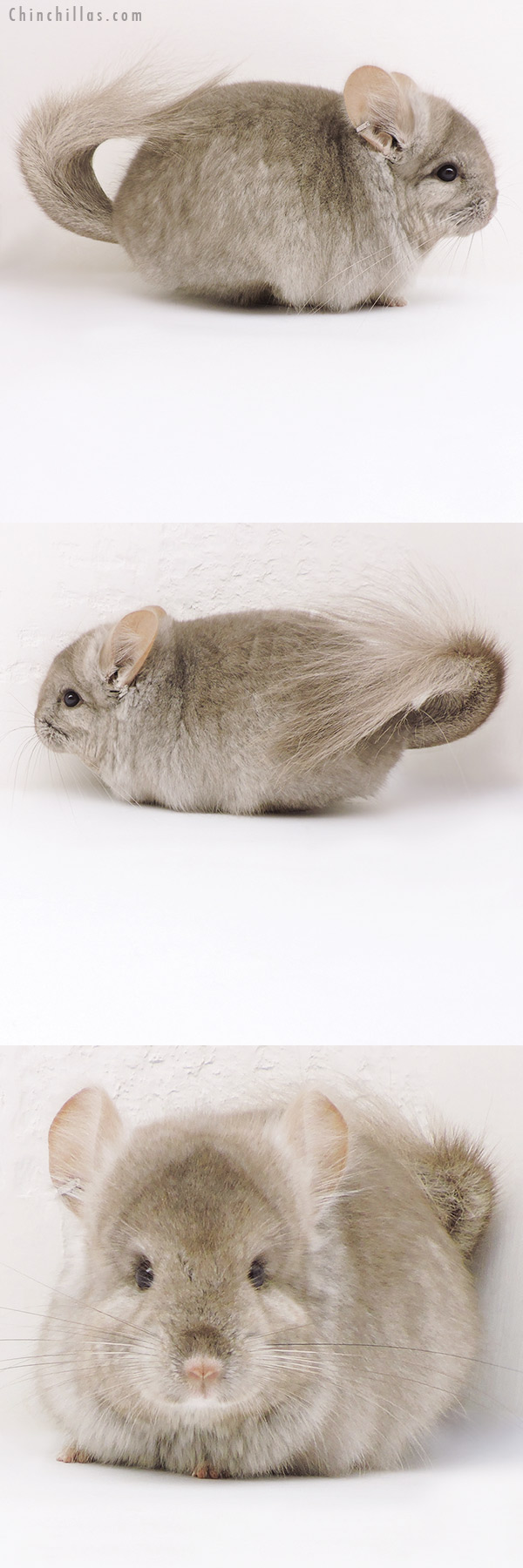 17233 Beige ( Ebony Carrier ) CCCU Royal Persian Angora Male Chinchilla