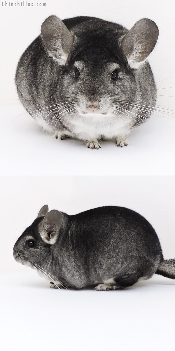 17224 Large Show Quality Standard Female Chinchilla