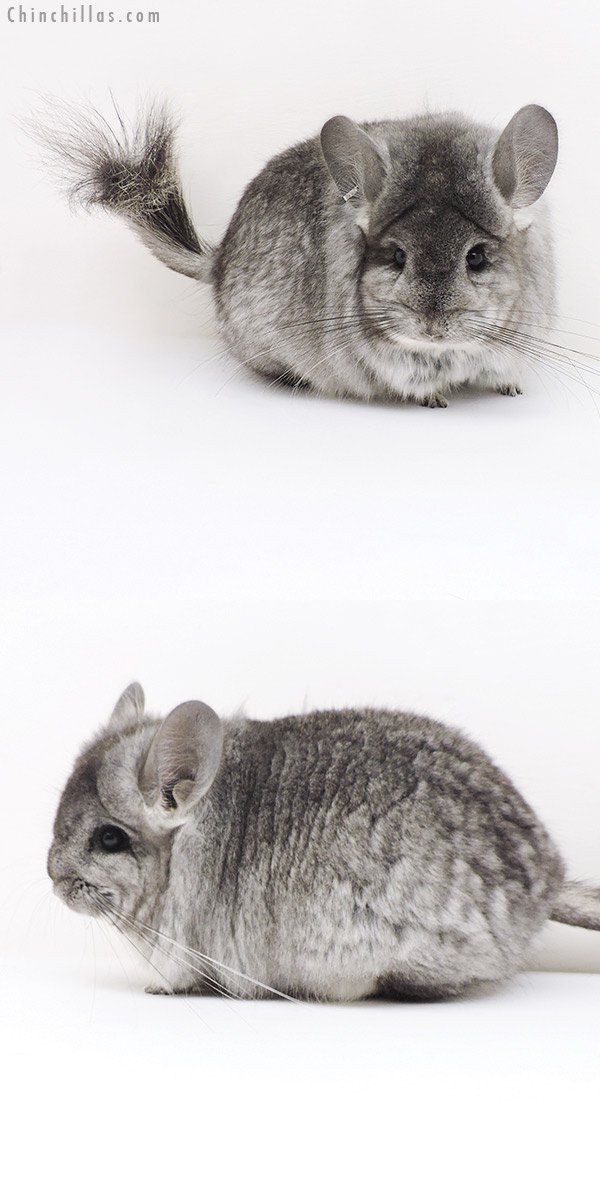 17229 Standard CCCU Royal Persian Angora Female Chinchilla