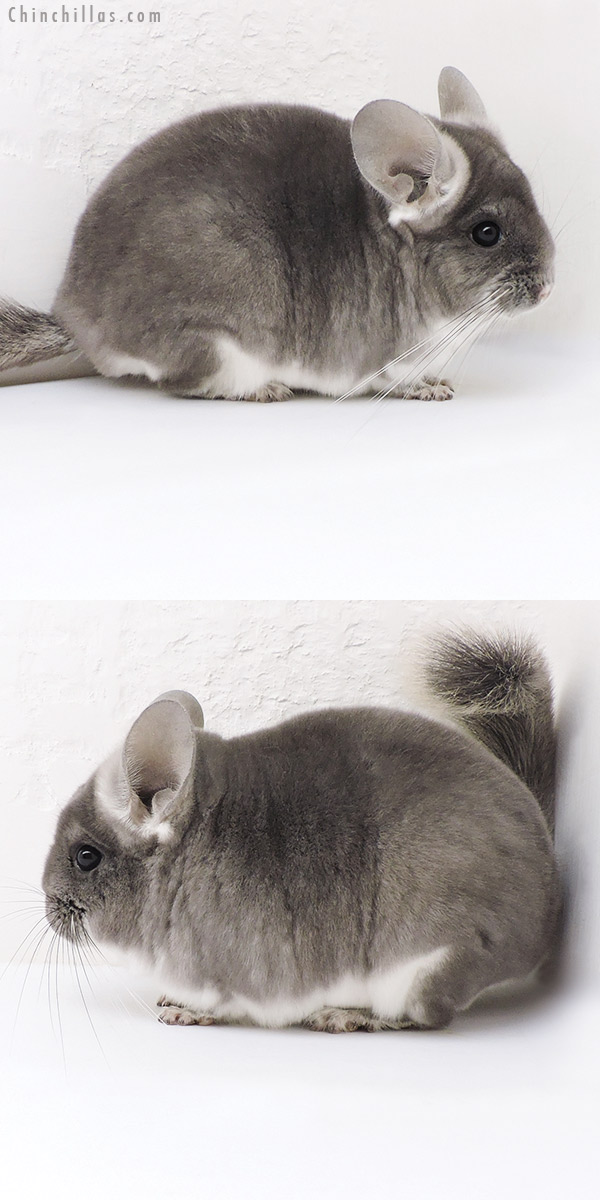 17340 Show Quality TOV Violet Male Chinchilla
