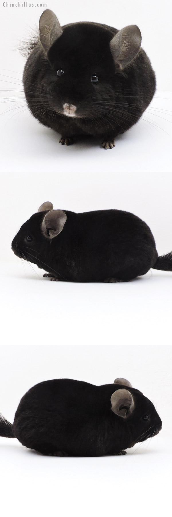 17341 Blocky Herd Improvement Quality Ebony Male Chinchilla