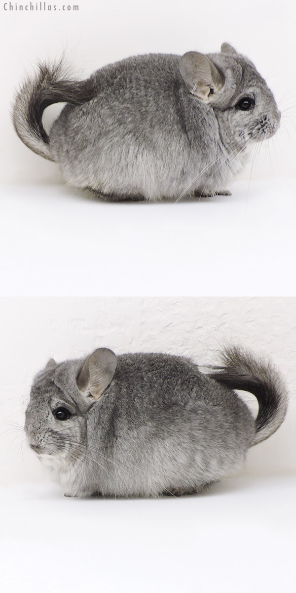17335 Exceptional Mini Standard ( Sapphire Carrier ) CCCU Royal Persian Angora Female Chinchilla