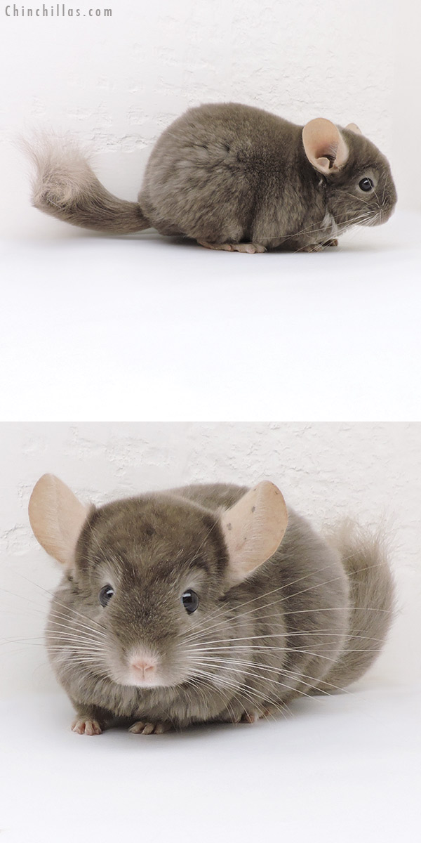 17349 Tan Quasi Locken Female Chinchilla