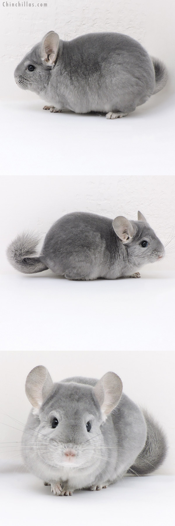 17346 Premium Production Quality Light Wrap Around Blue Diamond Female Chinchilla