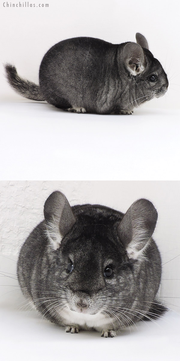 17350 Large Blocky Premium Production Quality Standard Female Chinchilla
