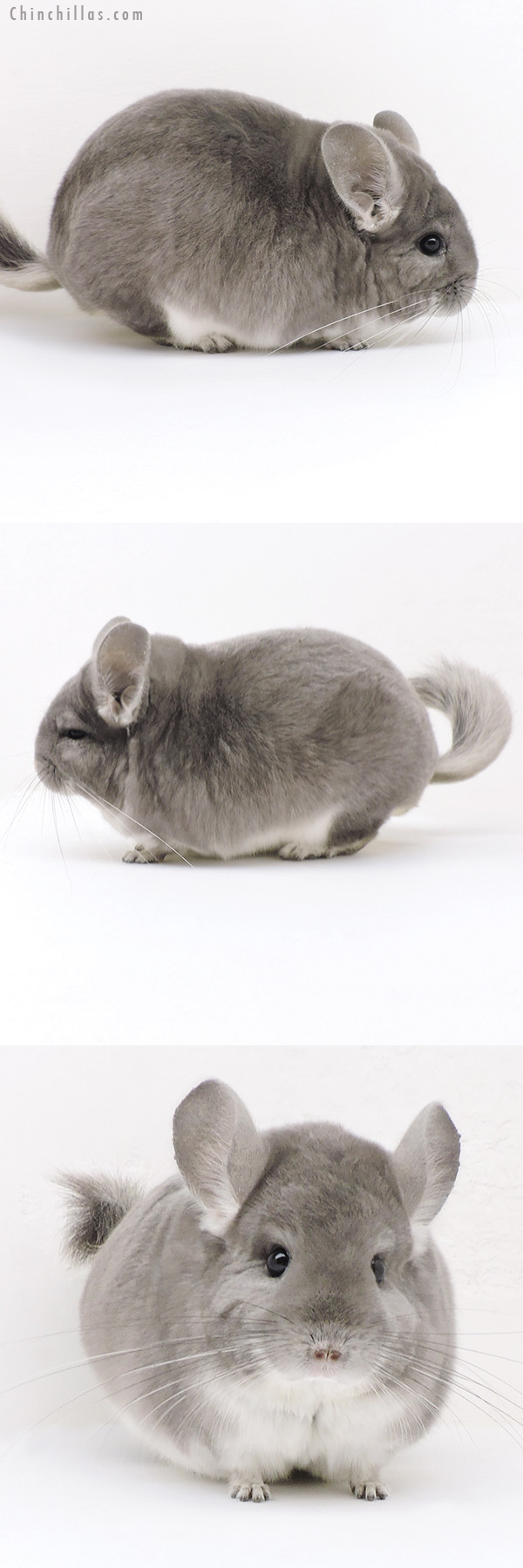 17362 Large Blocky Violet Male Chinchilla