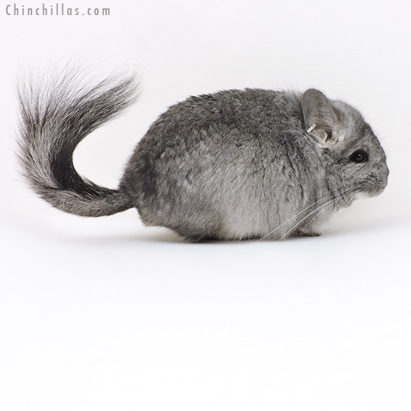 17360 Standard CCCU Royal Persian Angora Male Chinchilla