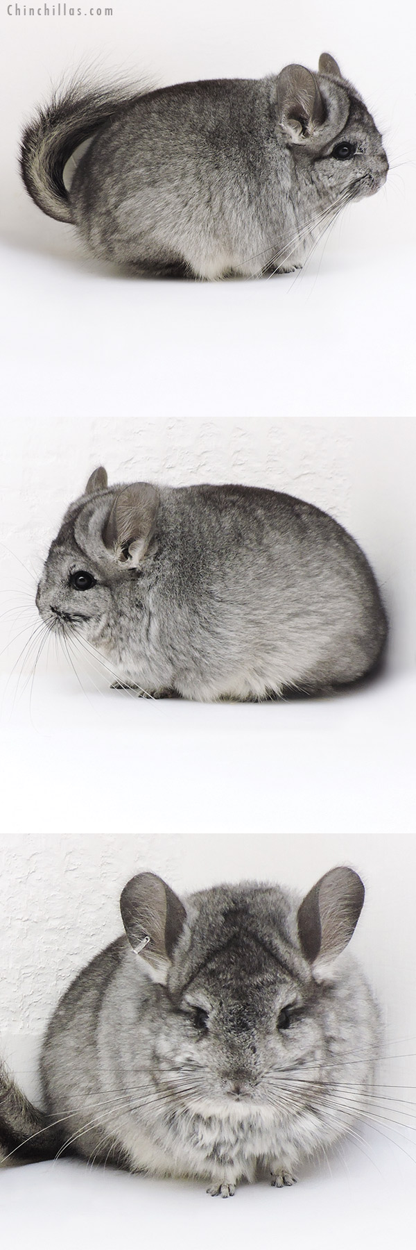 17348 Exceptional Blocky Standard CCCU Royal Persian Angora Female Chinchilla