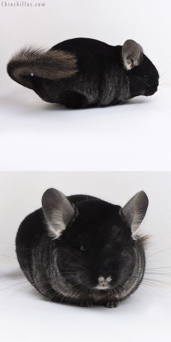 17367 Brevi Type Show Quality TOV Ebony Female Chinchilla