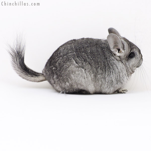17370 Blocky Standard ( Ebony & Locken Carrier ) CCCU Royal Persian Angora Female Chinchilla