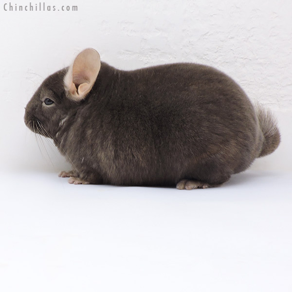 17379 Blocky Premium Production Quality Dark Tan Female Chinchilla