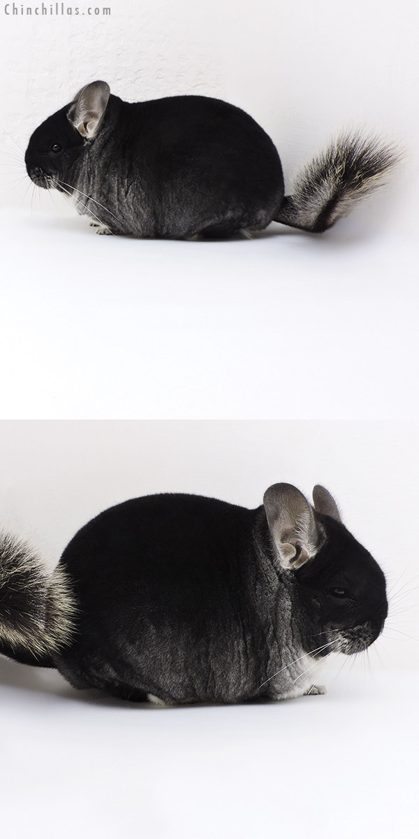 17368 Large Blocky Brevi Type Premium Production Quality Black Velvet Female Chinchilla