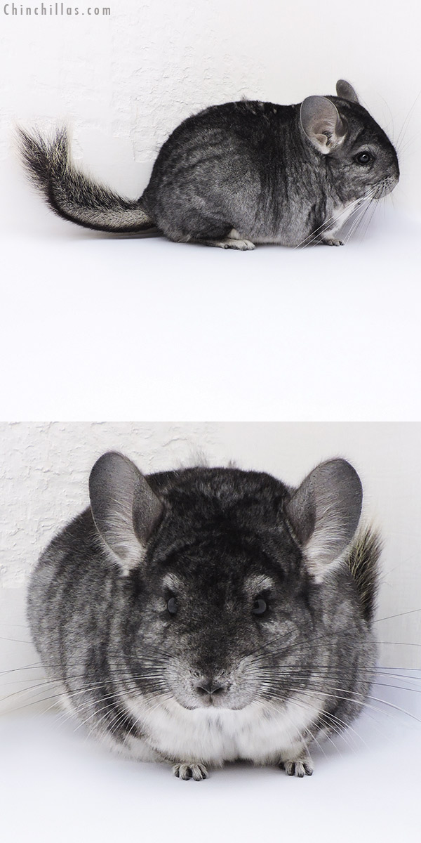 17378 Large Blocky Premium Production Quality Standard Female Chinchilla