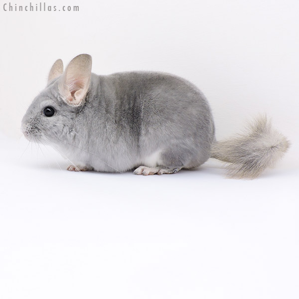 17380 Premium Production Quality Blue Diamond Female Chinchilla