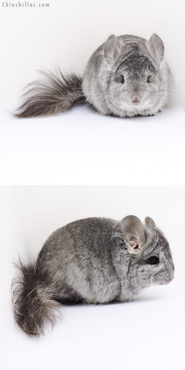17373 Standard CCCU Royal Persian Angora Male Chinchilla