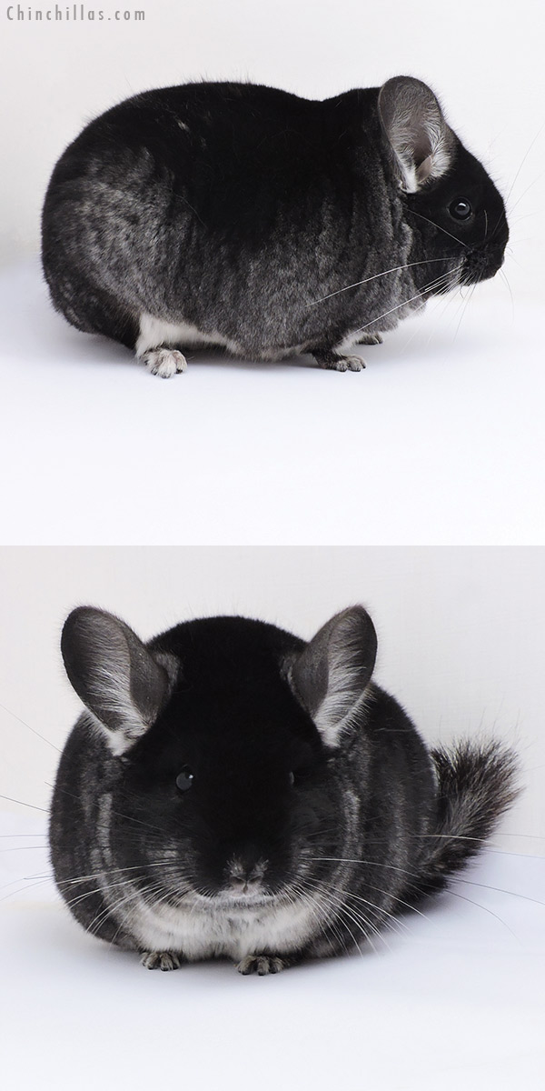 17376 Large Blocky Premium Production Quality Black Velvet Female Chinchilla