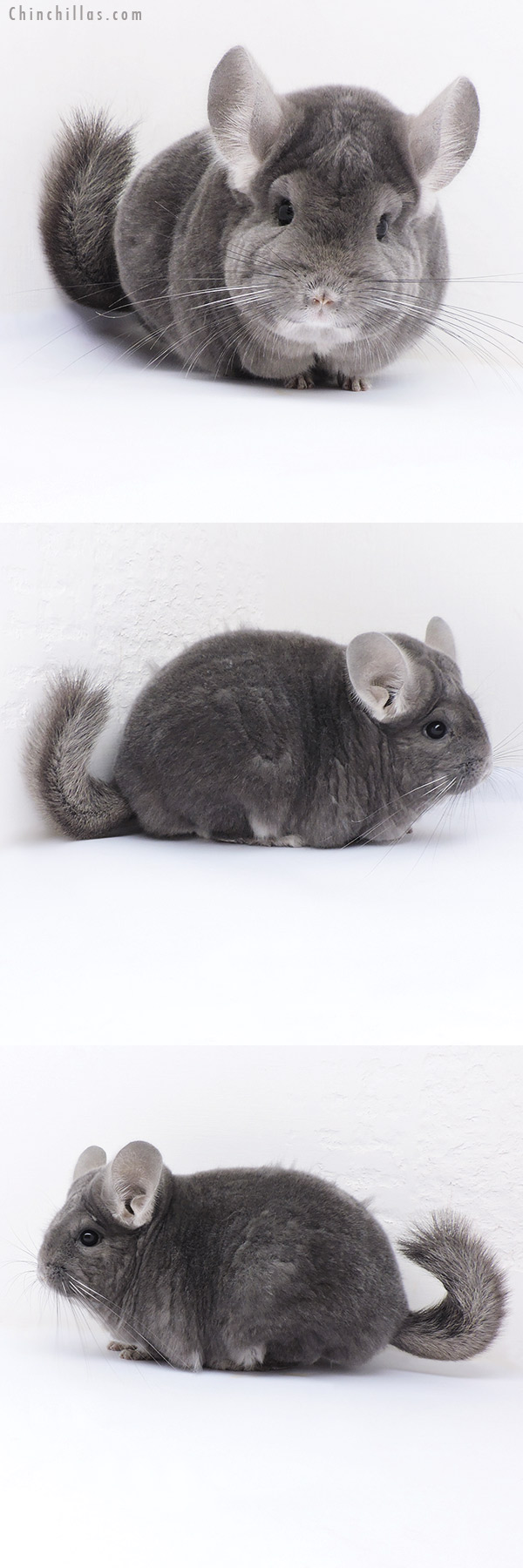 17381 Extra Large Blocky Premium Production Quality Violet ( Ebony Carrier ) Female Chinchilla
