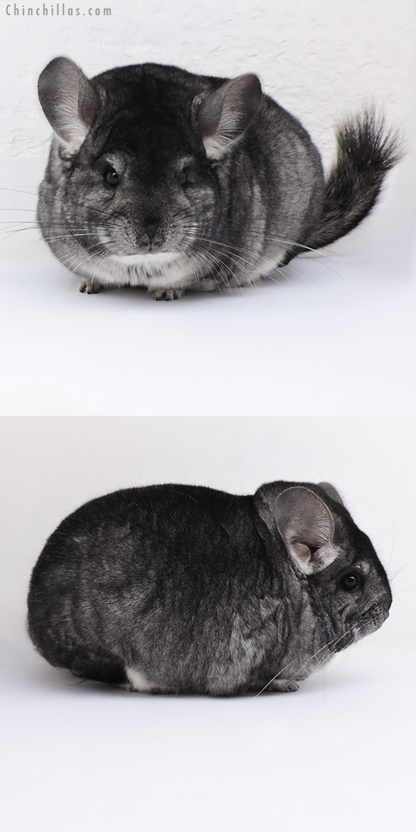 17388 Extra Large Blocky Premium Production Quality Standard Female Chinchilla