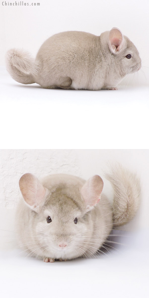 17391 Large Herd Improvement Quality Homo Beige Male Chinchilla
