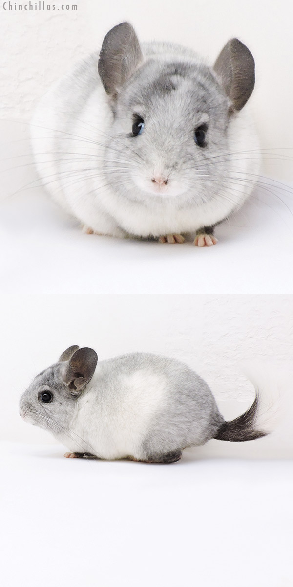17398 Ebony & White Mosaic ( Locken Carrier ) Female Chinchilla