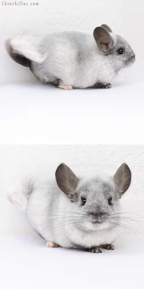 17395 Ebony & White Mosaic Quasi Locken Female Chinchilla