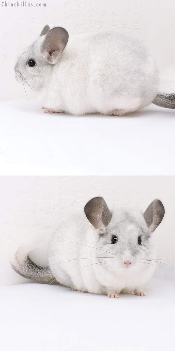 17387 Extra Large Blocky Premium Production Quality White Mosaic Female Chinchilla
