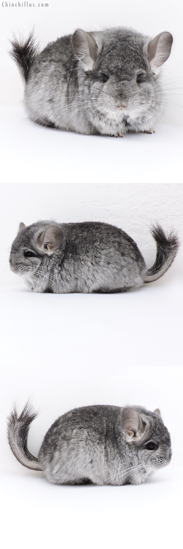 17408 Exceptional Standard CCCU Royal Persian Angora Male Chinchilla