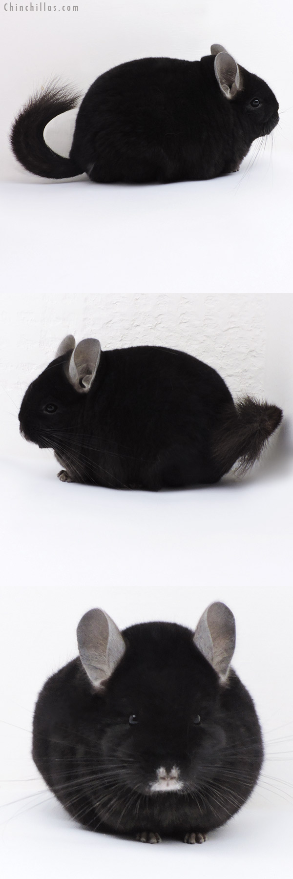 17411 Blocky Premium Production Quality Ebony Female Chinchilla