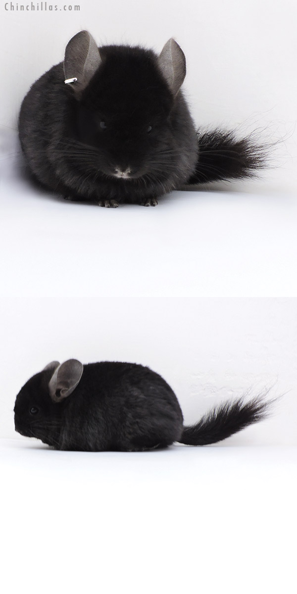 17406 Ebony CCCU Royal Persian Angora ( Locken Carrier ) Male Chinchilla